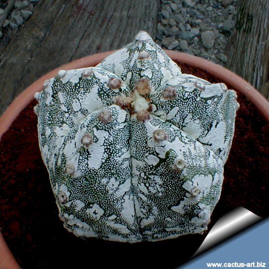 astrophytum myriostigma cv  hakuun