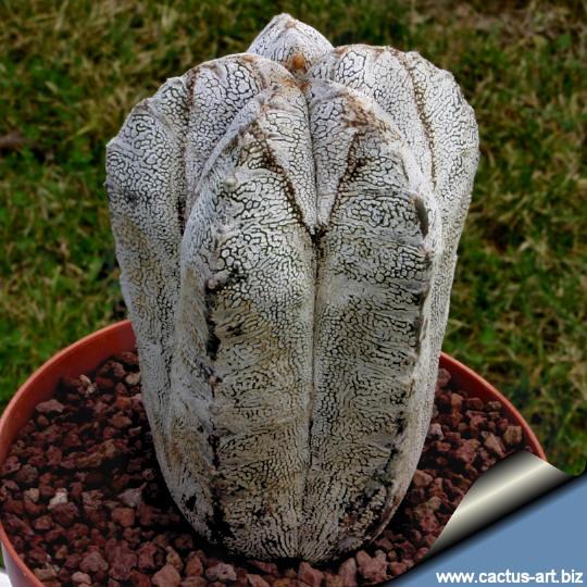 astrophytum myriostigma cv onzuka forma columnare