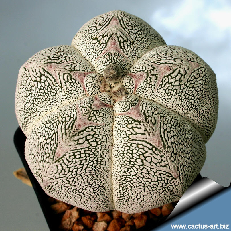 astrophytum myriostigma cv  onzuka   kikko