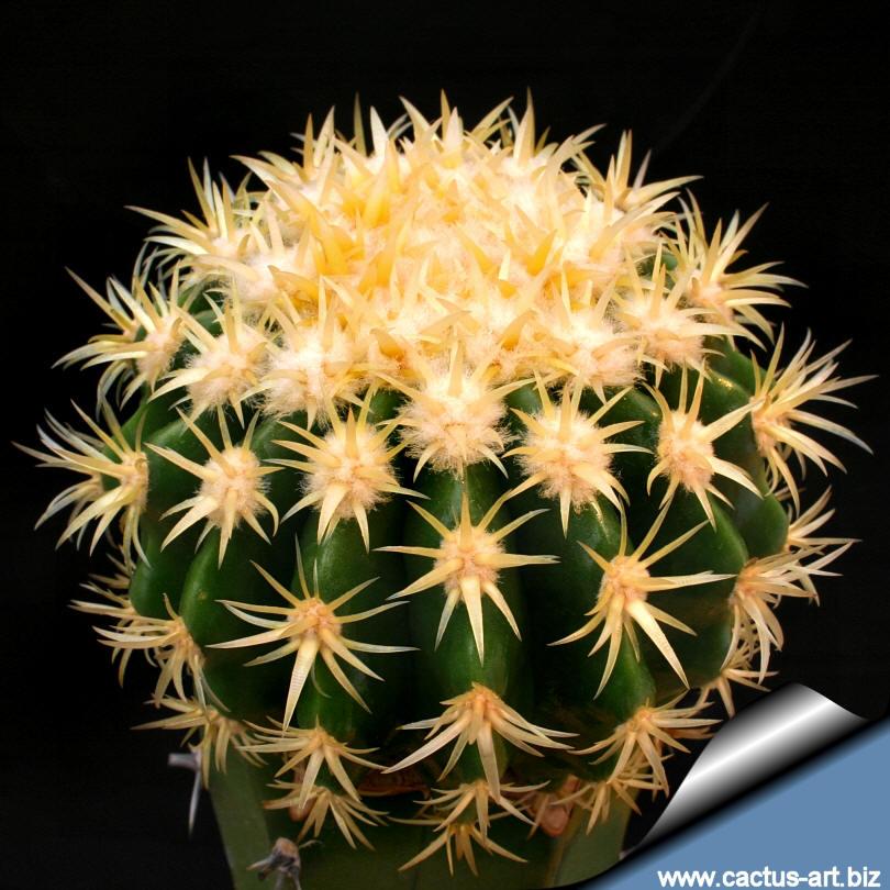 """Echinocactus Grusonii """"intermedius"""""""