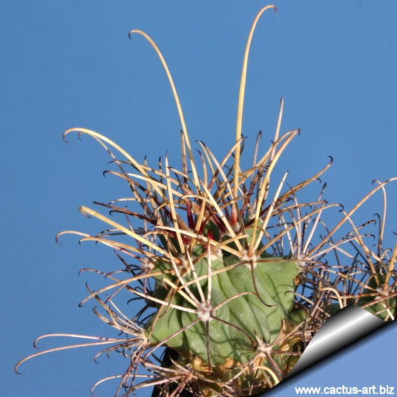 Glandulicactus Wrightii Sb840 Cuatrocienagas