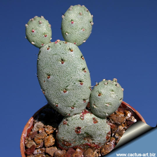 ortegocactus macdougalli
